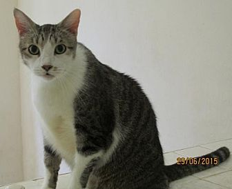 Domestic Shorthair Cat for adoption in Conroe, Texas - Homer