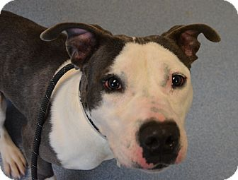 Pit Bull Terrier Mix Dog for adoption in Bay Shore, New York - Roger
