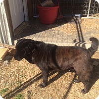 Shar Pei/Labrador Retriever Mix Dog for adoption in Hohenwald, Tennessee - Margarita