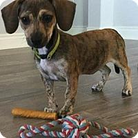 Adopt A Pet :: Kassie - Humble, TX