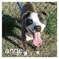 American Pit Bull Terrier/American Staffordshire Terrier Mix Dog for adoption in Dallas, Texas - Angel