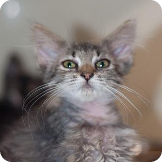 Domestic Mediumhair Kitten for adoption in New Martinsville, West Virginia - Yoda