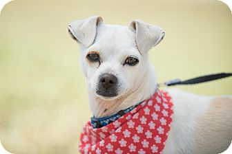 Fox Terrier (Toy)/Italian Greyhound Mix Dog for adoption in San Diego, California - Emmeth