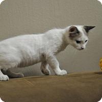 Domestic Shorthair Kitten for adoption in Gorham, Maine - Skylar