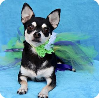 Chihuahua Dog for adoption in Picayune, Mississippi - COURTESY POST- Kitty