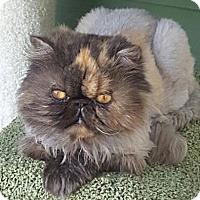 Adopt A Pet :: Sugar - Columbus, OH