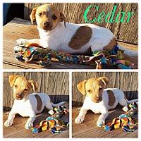 Adopt A Pet :: Cedar - New Milford, CT