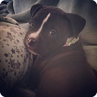 Pit Bull Terrier/Boxer Mix Puppy for adoption in Mission Viejo, California - Charlotte