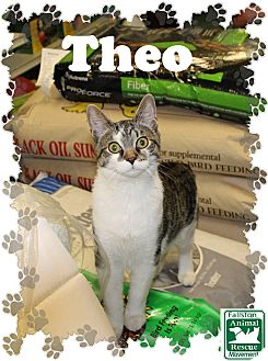 Domestic Shorthair Cat for adoption in Fallston, Maryland - Theo