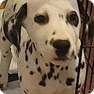 Adopt A Pet :: PERDITA - ADOPTION PENDING