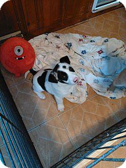 Australian Shepherd/Golden Retriever Mix Puppy for adoption in Denver, Indiana - 3boys & 2girls