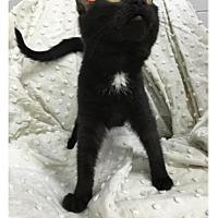 Domestic Shorthair Kitten for adoption in Paducah, Kentucky - Iridecent