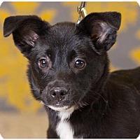Adopt A Pet :: Shep - Fort Wayne, IN