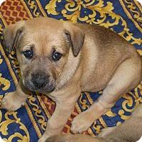 Adopt A Pet :: Shawnee - Orangeburg, SC