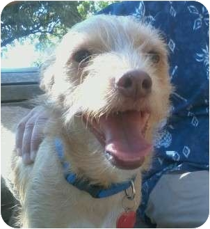 Norwich Terrier/Australian Terrier Mix Dog for adoption in Houston, Texas - OLIVER