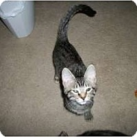 Domestic Shorthair Cat for adoption in Henderson, Kentucky - Beth