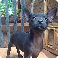 Adopt A Pet :: Chi pup 3 - hartford, CT