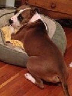 Boxer/Terrier (Unknown Type, Medium) Mix Dog for adoption in Winder, Georgia - Garrett