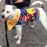 Adopt A Pet :: Star - Norwalk, CT