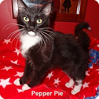 Adopt A Pet :: Pepper Pie - Bentonville, AR