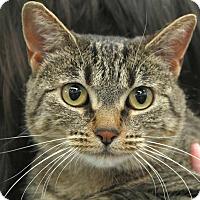 American Shorthair Cat for adoption in St. Louis, Missouri - Greta