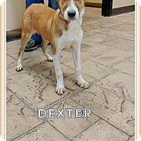 Adopt A Pet :: Dexter - Oviedo, FL