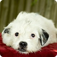 Adopt A Pet :: Jackie-darling wirey girl-S  Video - Alvin, TX
