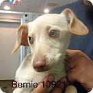 Adopt A Pet :: Bernie
