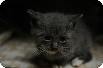 Domestic Shorthair Kitten for adoption in San Angelo, Texas - Silver