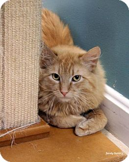 Domestic Mediumhair Cat for adoption in Paris, Maine - Judson