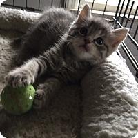 Adopt A Pet :: Violet - Devon, PA
