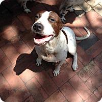 Adopt A Pet :: Zoey(PC) - Von Ormy, TX