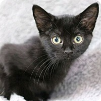Domestic Shorthair Cat for adoption in Raleigh, North Carolina - Jasper B