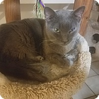Domestic Shorthair Cat for adoption in Medford, New York - Smokey