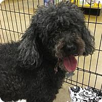 Adopt A Pet :: Rozsi - Kennesaw, GA