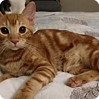 Domestic Shorthair Kitten for adoption in Corona, California - Foxfire