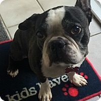 Boston Terrier Mix Dog for adoption in Northville, Michigan - Oscar
