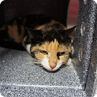 Domestic Shorthair Cat for adoption in Henderson, North Carolina - Becky