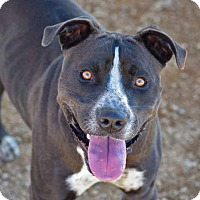 American Staffordshire Terrier Mix Dog for adoption in Sierra Vista, Arizona - Tractor