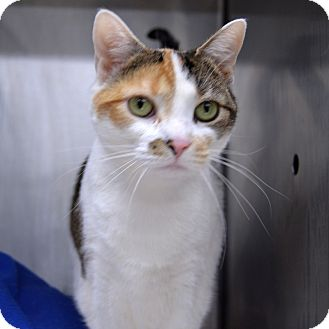 Domestic Shorthair Cat for adoption in Wheaton, Illinois - Charlotte
