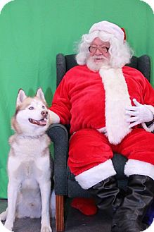 Husky Dog for adoption in Mankato, Minnesota - Rayzr