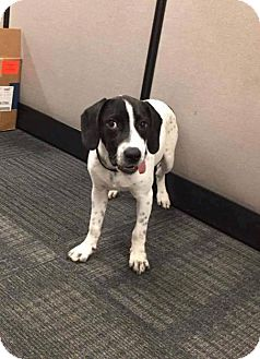 Pointer Mix Puppy for adoption in Tenafly, New Jersey - Apollo