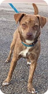 Whippet Mix Puppy for adoption in Macomb, Illinois - Amber