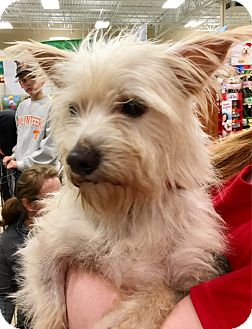 Westie, West Highland White Terrier Dog for adoption in Pulaski, Tennessee - Pistol Pete