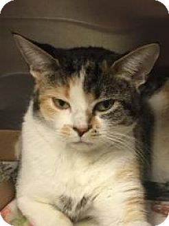Domestic Shorthair Cat for adoption in Manchester, New Hampshire - Pecan