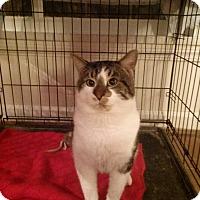 Domestic Shorthair Cat for adoption in Northfield, Ohio - Romeo