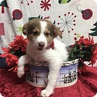 Adopt A Pet :: Moxie - Joliet, IL