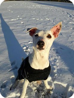 Jack Russell Terrier Mix Dog for adoption in Whitestone, New York - Jackpot Jr.