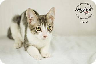 Domestic Shorthair Cat for adoption in San Antonio, Texas - Hiker
