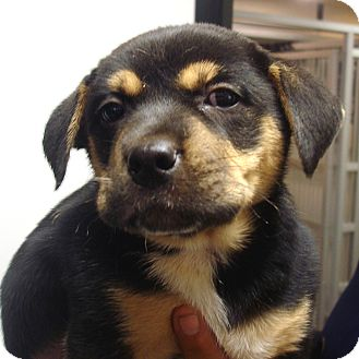 Rottweiler/Boxer Mix Puppy for adoption in baltimore, Maryland - Quintessa